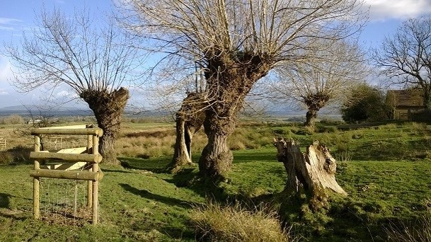 Black poplar Castlemorton Common website.jpg
