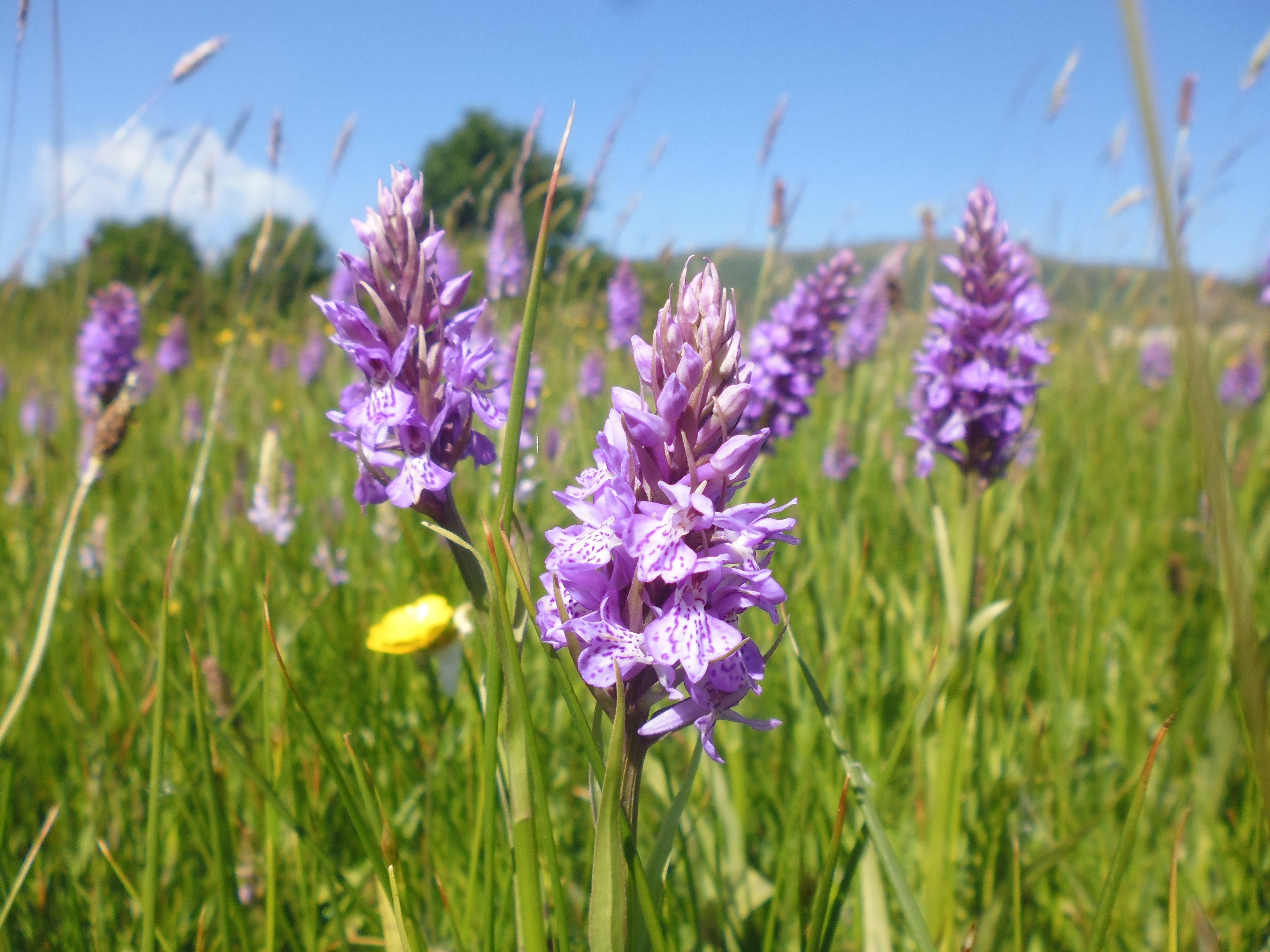 Southern Marsh Orchid Malvern Common low res.jpg