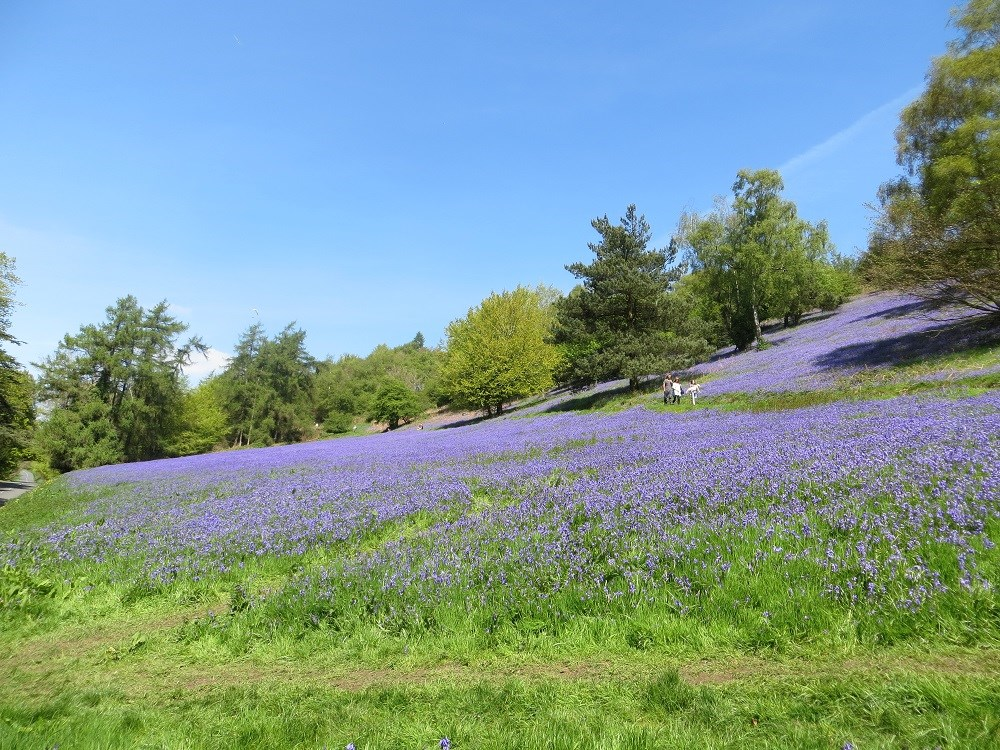 2014.05.03 Jubilee Drive bluebells (3) low res.jpg