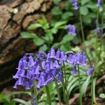 Bluebells April 2014 RV low res.jpg