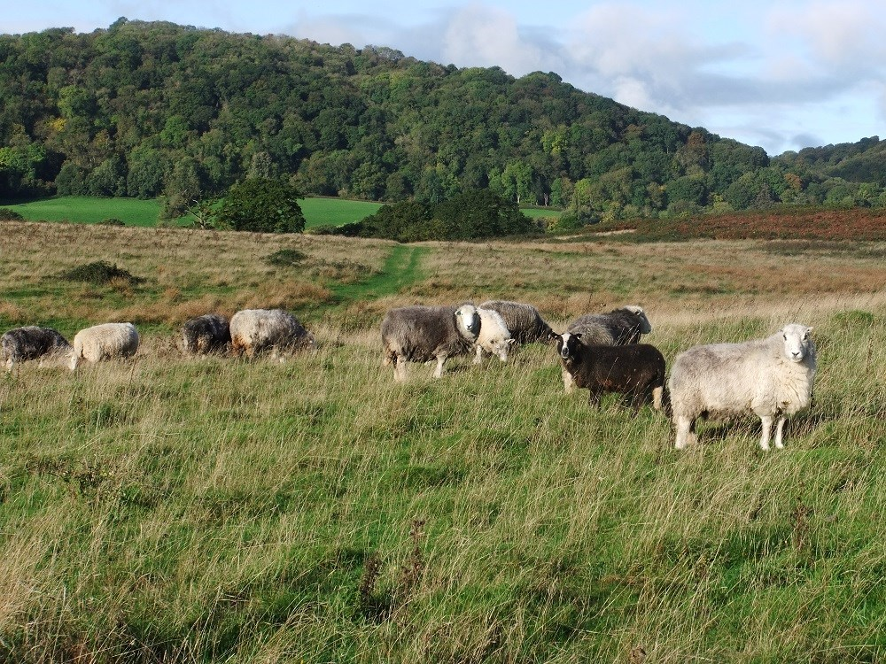 2013.10.23 Herwick sheep grazing Hollybed Common low res.jpg