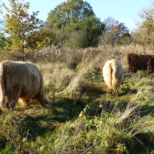 Highland Cattle Grazing Old Hills (16) low res.jpg