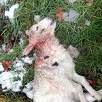 Dead lamb joyners meadow dog attack (2) low res.jpg