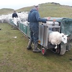 Sheep scanning 2020 (2) low res.jpg